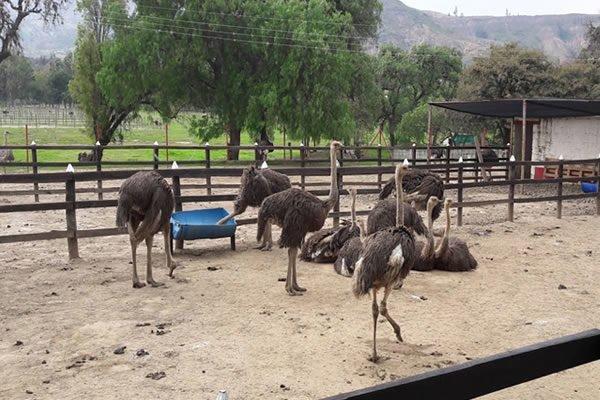 Granja de Avestruces